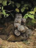 Family of Mongooses Lámina fotográfica por Mark C. Ross