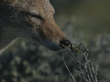 Black-Backed Jackal, Canis Mesomelas, Sniffs a Locust Photographic Print by Kim Wolhuter