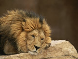 Male Lion Rests Upon a Rock Fotografisk trykk av Norbert Rosing