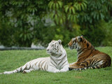 Two Bengal Tigers Lie Down in the Grass Fotografisk tryk af Norbert Rosing