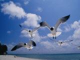 Laughing Gulls, Florida Stampa fotografica di Roy Toft