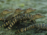American Alligator Babies on Log, Texas 写真プリント : ロイ・トフト