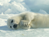Harp Seal Pup Lies on Its Side on the Ice Fotografisk tryk af Norbert Rosing