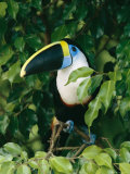 Colorful Cuviers Toucan Sitting in a Fig Tree Reproduction photographique par Steve Winter