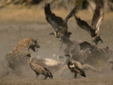 Spotted Hyena and White-Backed Vultures Duel over a Carcass Lámina fotográfica por Beverly Joubert