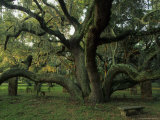 Old Live Oak Draped with Spanish Moss Fotografisk trykk av Michael Melford