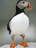 Portrait of a Puffin Reproduction photographique par Michael Melford
