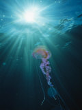 Pelagia Noctiluca Jellyfish Swimming in Sunlit Water Photographic Print by Brian J. Skerry