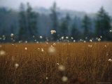 Cotton Grass, Sedges and a Red Spruce Forest in a Bog Fotografisk tryk af Raymond Gehman