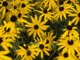 Group of Black Eyed Susans Bloom in a Cluster Photographic Print by Taylor S. Kennedy