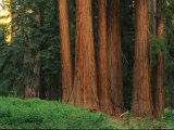 Trunks of Giant Sequoia Trees in the Mariposa Grove Photographic Print by Phil Schermeister