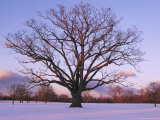 Lone Oak Tree in Delaware Park Photographic Print by Melissa Farlow