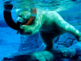 Polar Bear Underwater at Melbourne Zoo Photographic Print by Richard I'Anson