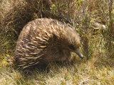 Echidna, Tasmanian Variety Reproduction photographique par Grant Dixon