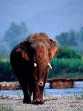 Large Tusked Elephant Walking Photographic Print by Hira Punjabi