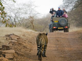 Young Male Bengal Tiger Walking Towards a Tourist-Laden Jeep Photographic Print by Anders Blomqvist