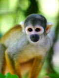 Squirrel Monkey at an Animal Rescue Centre Fotografisk tryk af Paul Kennedy