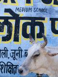 Sacred Cow Photographic Print by Guylain Doyle
