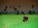 Boy on Buffalo in Rice Field Fotografisk tryk af Antony Giblin
