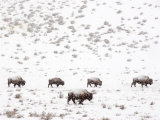 Bison in a Snow Storm Photographic Print by Mark Newman