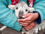 Lamb Sitting on Shepherd-Girl's Lap, Pastoruri Park Photographic Print by Uros Ravbar