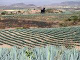 Agave Fields Near Guadalajara Photographic Print by Uros Ravbar