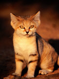 Sand Cat at the Breeding Centre for Endangered Arabian Wildlife Reproduction photographique par Mark Daffey