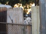 Alpacas Looking Through a Gap in a Backyard Fence, Williamstown Reproduction photographique par Orien Harvey