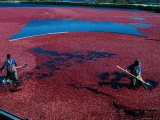 Workers Hard at it During the Cranberry Harvest of Cape Cod Fotografie-Druck von Kim Grant