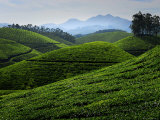 Tea Plantations Covering the Rolling Hills Photographic Print by Felix Hug
