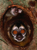 Nocturnal Nightowl Monkey, Which Ranges in the Wild Throughout Central and South America Photographic Print by Tom Boyden