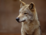 Close Up of Coyote in the Wild Fotografie-Druck