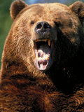 Angry Brown Bear Growling and Showing Teeth Photographic Print