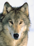 Close Up of Gray Wolf Head in Nature Fotografie-Druck