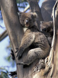 Mother and Baby Koala on Blue Gum, Kangaroo Island, Australia Fotografisk tryk af Howie Garber