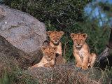Den of Lion Cubs, Serengeti, Tanzania Fotografisk tryk af Dee Ann Pederson
