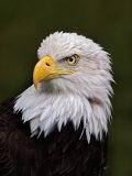 Adult Bald Eagle Fotoprint av Adam Jones