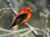 Male Scarlet Tanager Reproduction photographique par Adam Jones