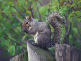 Grey Squirrel on Fencepost Fotografisk tryk af Adam Jones