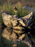 Lesser Yellowlegs in Wetlands, Potter Marsh, Alaska, USA Reproduction photographique par Paul Souders
