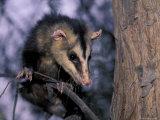 Opossum, Huara, Lima Fotografie-Druck von Andres Morya
