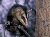 Opossum, Huara, Lima Lámina fotográfica por Andres Morya