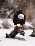 Bald Eagle Preserve, Chilkat, Alaska, USA Fotografisk tryk af Dee Ann Pederson