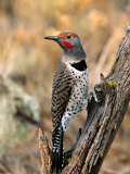 Northern Flicker, Oregon, USA Stretched Canvas Print by Charles Sleicher