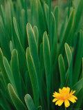 Flower Groundsel, Alaska, USA Fotografisk tryk af Dee Ann Pederson
