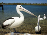 Australian Pelican, Australia Reproduction photographique par David Wall