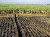 Fertile Fields of Sugar Cane on West Bank, Luxor, Egypt Valokuvavedos tekijänä Cindy Miller Hopkins