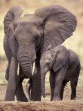 African Elephants, Tarangire National Park, Tanzania Lámina fotográfica por Art Wolfe