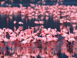 Lesser Flamingos, Lake Nakuru, Kenya Photographic Print by Charles Sleicher