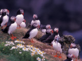 Atlantic Puffin, Iceland Reproduction photographique par Art Wolfe